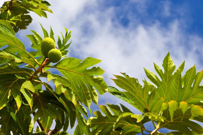 Хлебное дерево полное описание и фото
